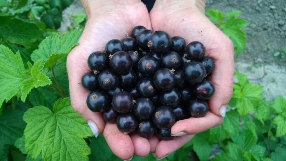 Крупные ягоды черной смородины в ладонях опытного садовода