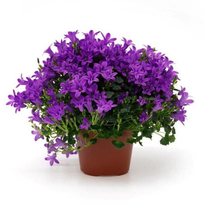 Комнатный цветок - жених