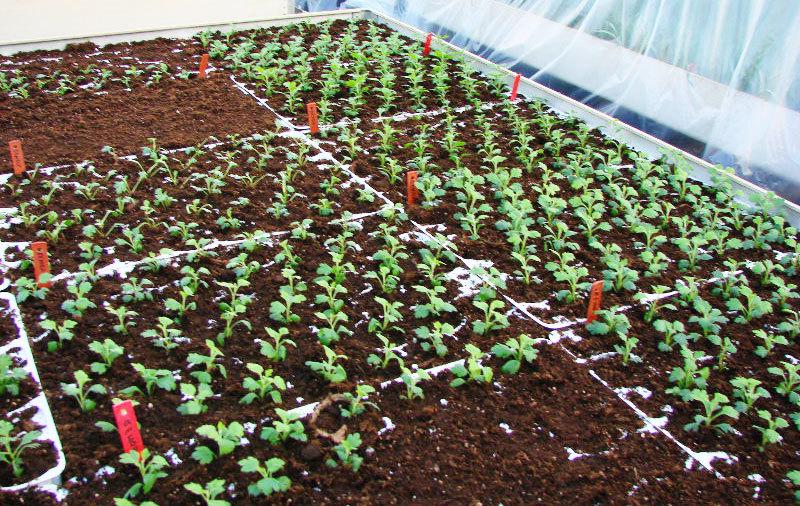 Хризантемы прекрасно вырастают из семян