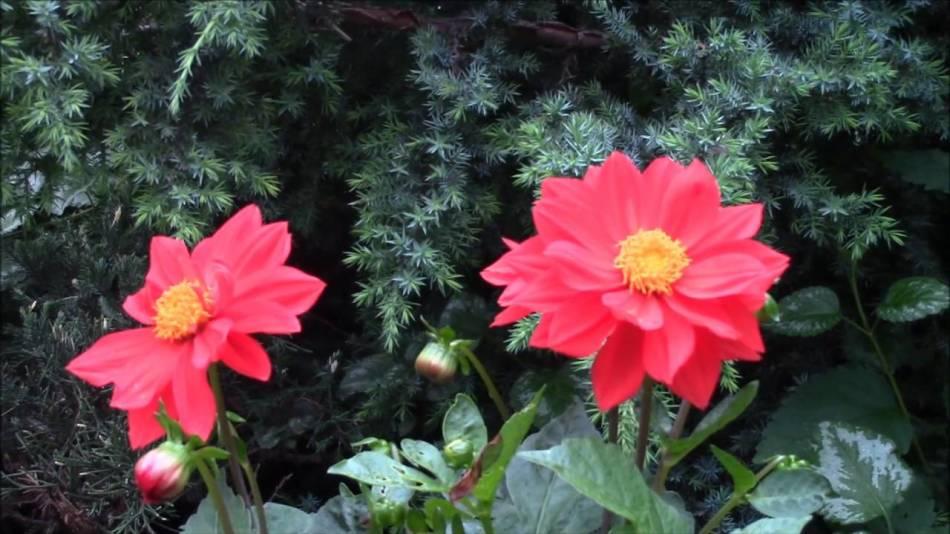 Веселые ребята - как вырастить из семян?