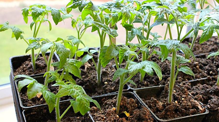 Выращивание томатов китайским методом