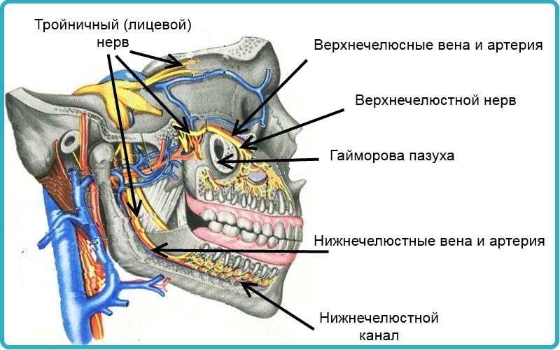Кровообращение в верхней и нижней челюсти, а также лицевой нерв