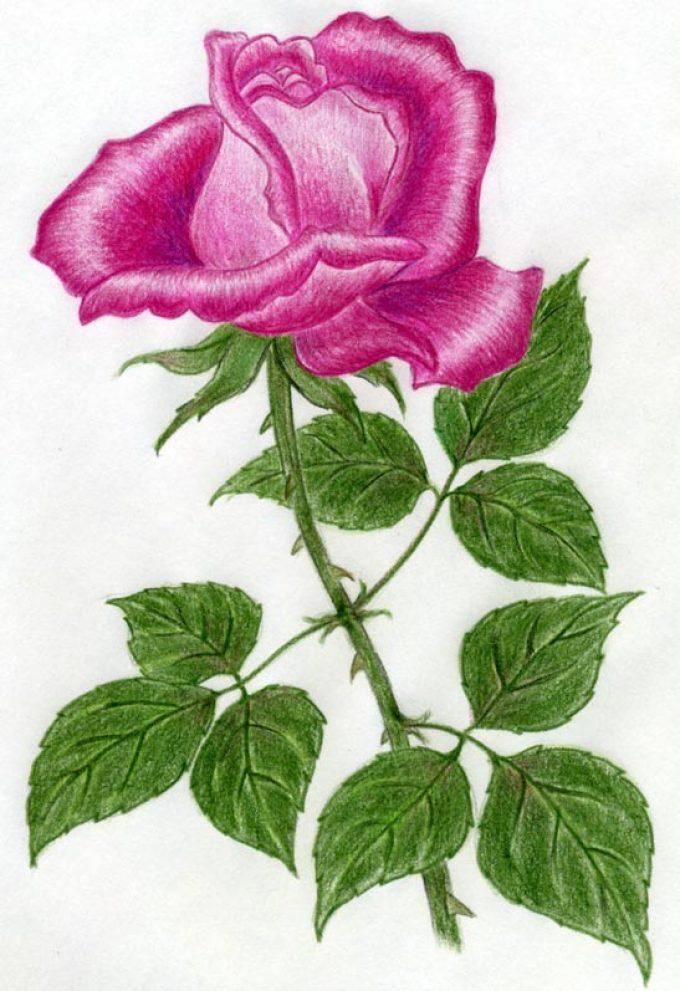 roza-cvetnimi-karandashami Как нарисовать розу карандашом поэтапно для начинающих? Розы: рисунок карандашом