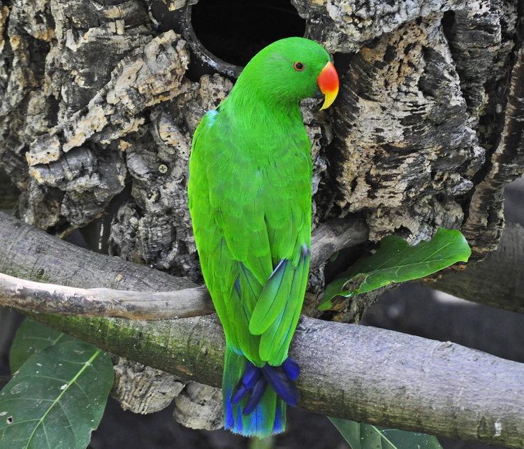 Эклектус - крупный и общительный попугай
