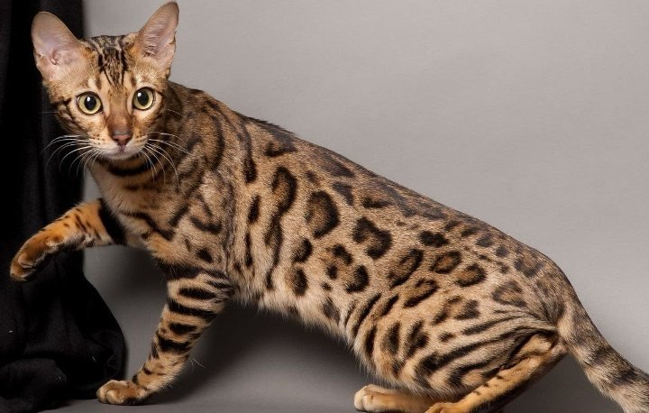 Красивая кошка саванна