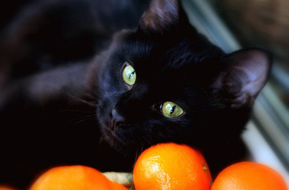 Коты не выносят запах цитрусовых