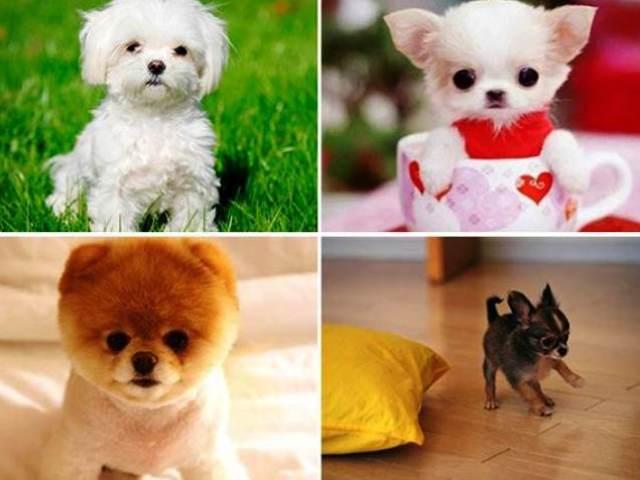 самая маленькая собака в мире цена