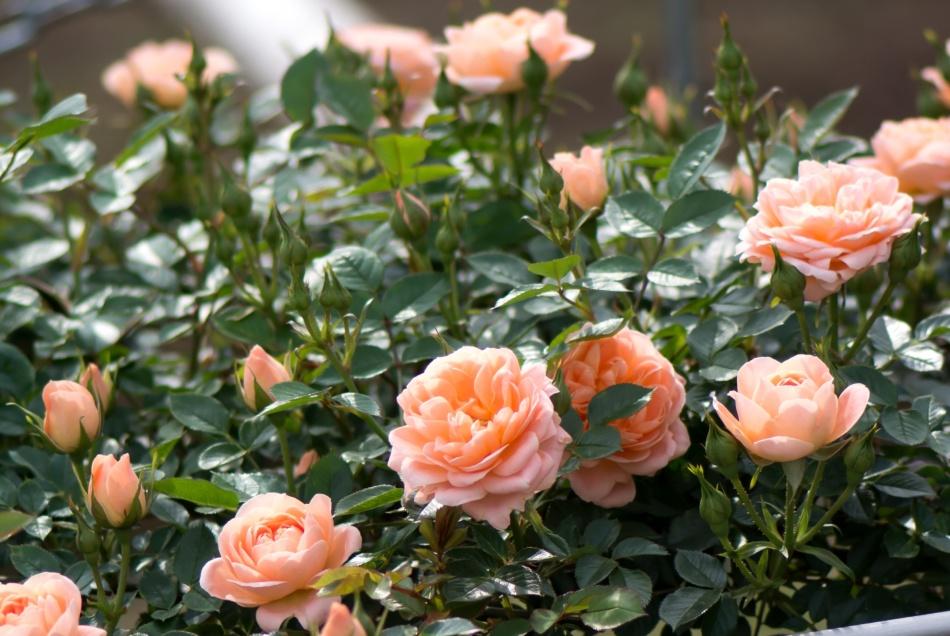 Советы по уходу за розами весной
