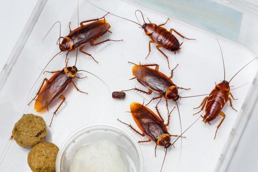 Народное средство от тараканов: борная кислота и картофель.