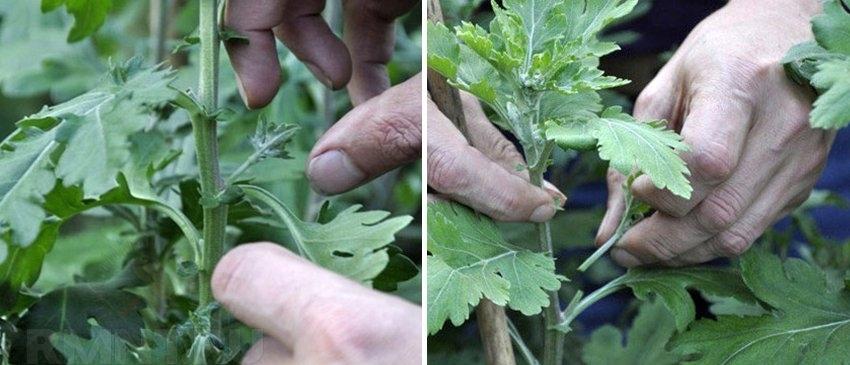 Хризантема также размножается прищипыванием