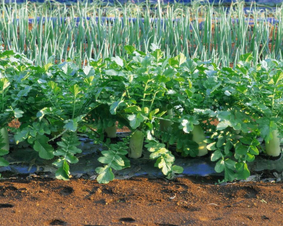 Овощи, высаженные в открытый грунт