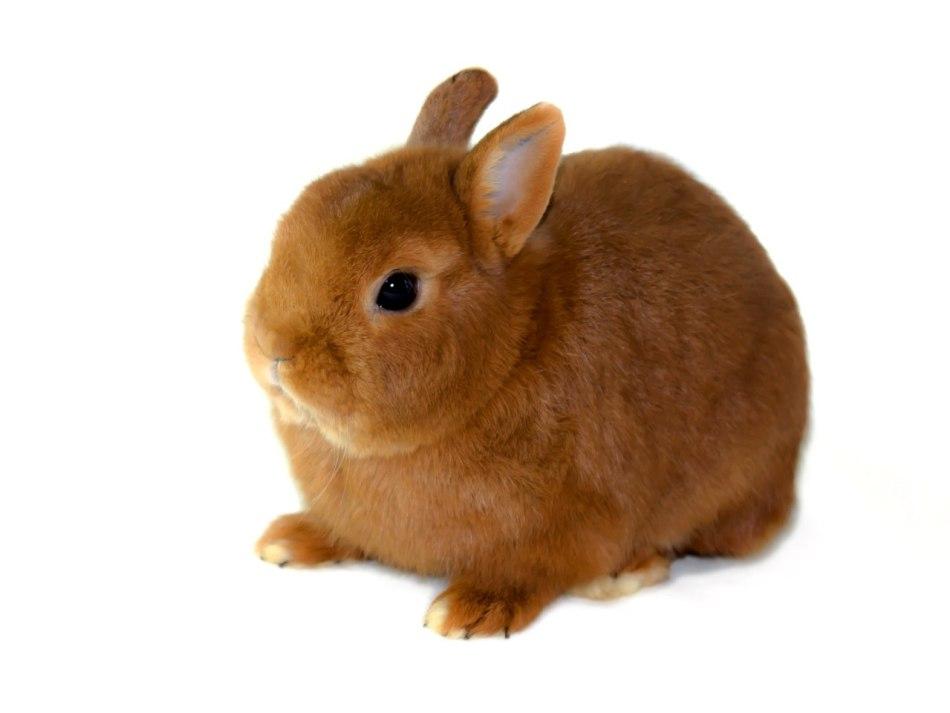 Цветной короткошерстный карликовый кролик