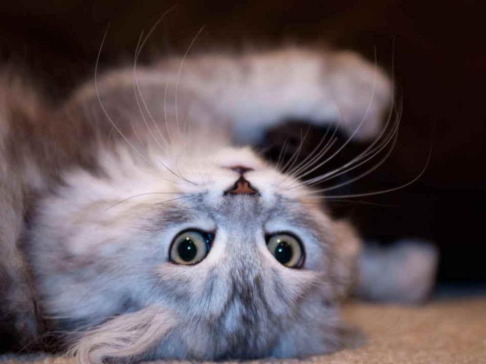 Выпадают зубы у кошек, котят