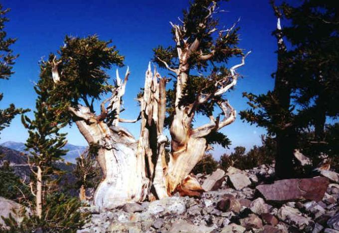 Прометей было самым старейшим деревом