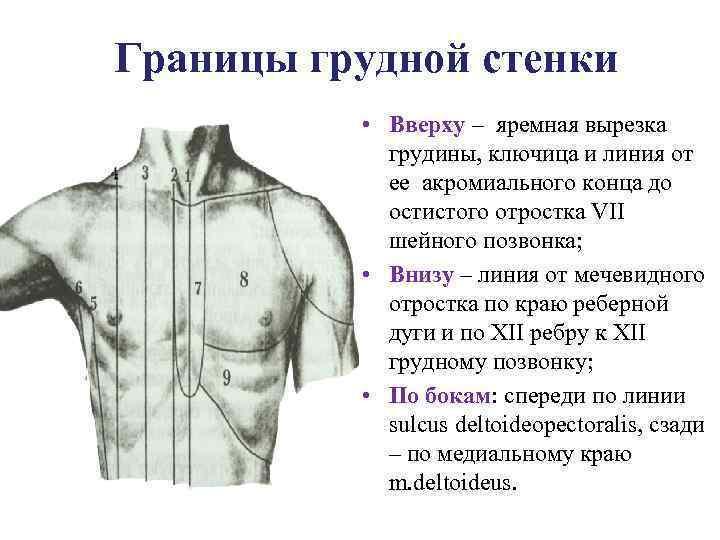 Изображение 3. границы грудной клетки.