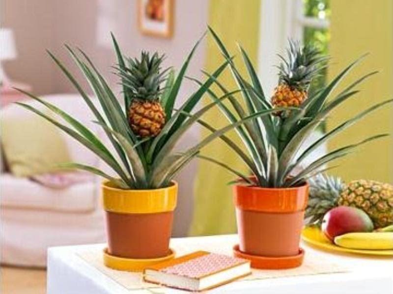 Вырастить ананас можно и из семян