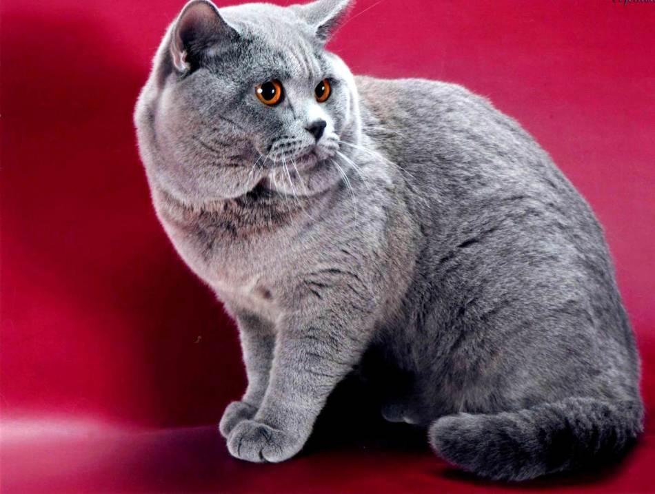 Порода британская короткошерстная кошка