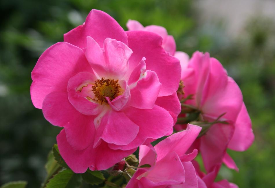 Дикая роза или шиповник