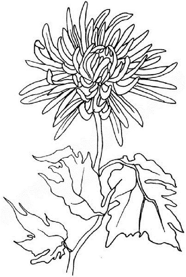 Рисунок хризантемы для срисовывания