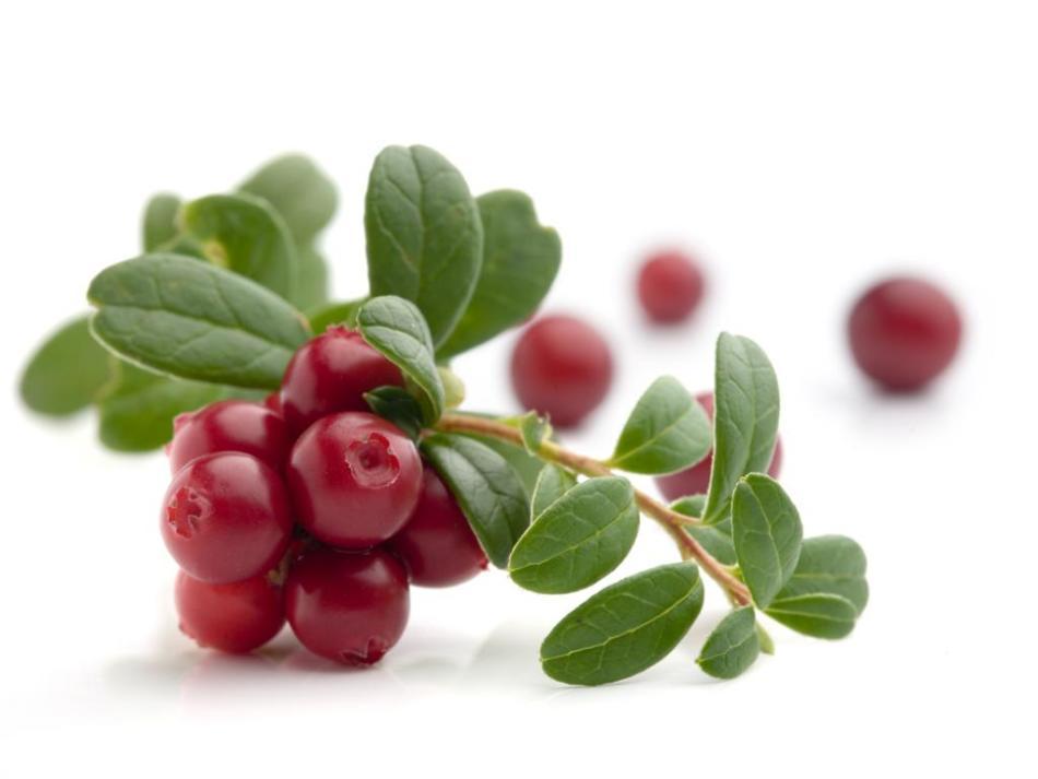 У брусники полезны и листья, и ягоды.