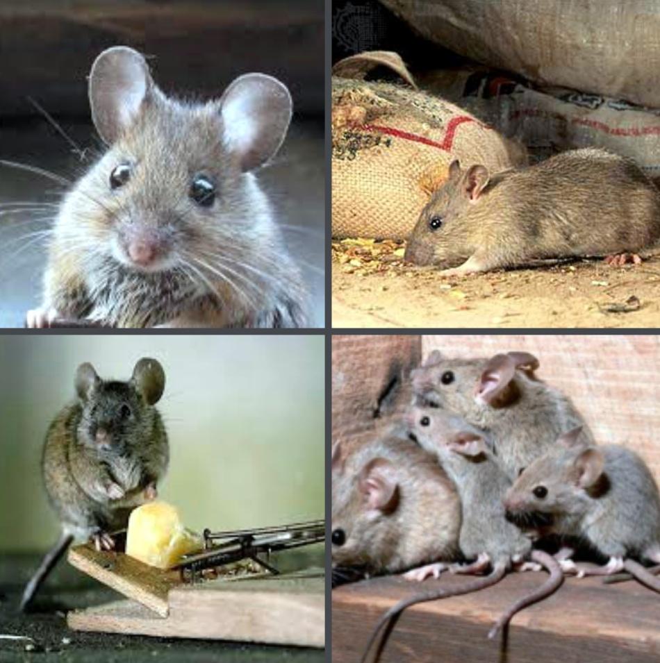 Методы борьбы с мышами достаточно разнообразны