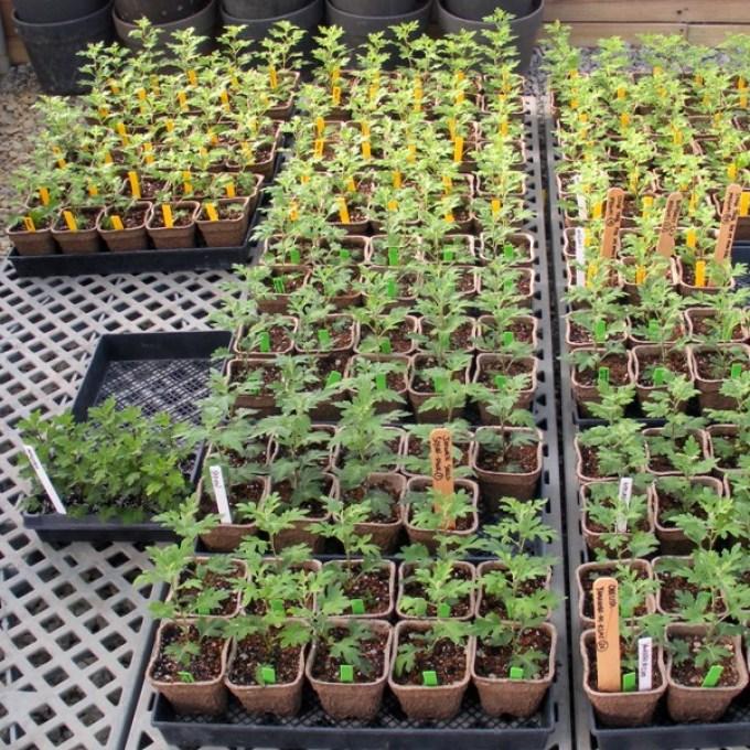 Хризантемы многолетние перед высадкой в грунт