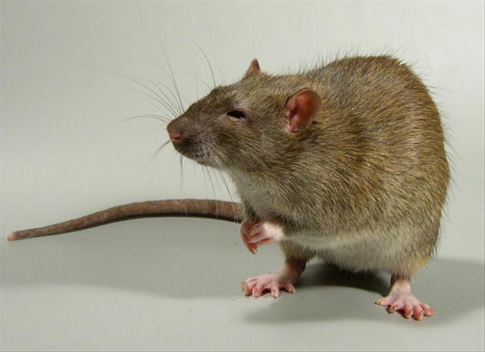 Живая крыса снится к хлопотам и переживаниям.