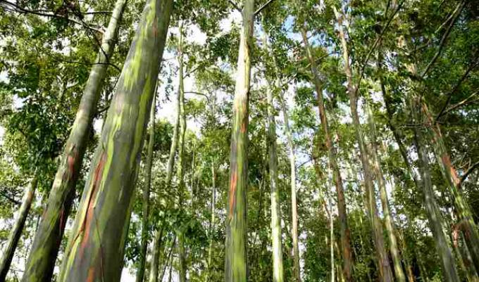 Эвкалипт - дерево: виды, как выглядит, как цветет: фото. Эвкалипт - гигантское дерево: высота, где растет, как размножается, сбр