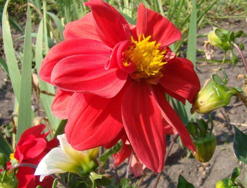 Правила полива цветов. георгины