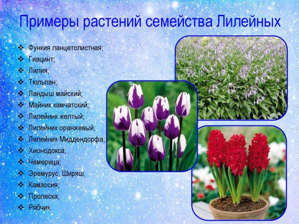 Лилейные растения
