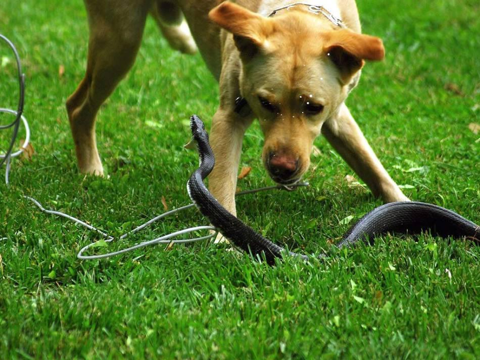 Змея, кусающая собаку во сне, предостерегает сновидца от необдуманных поступков.
