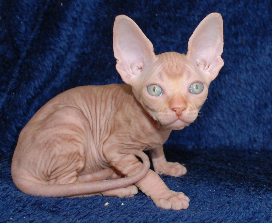 Котенок красного сфинкса