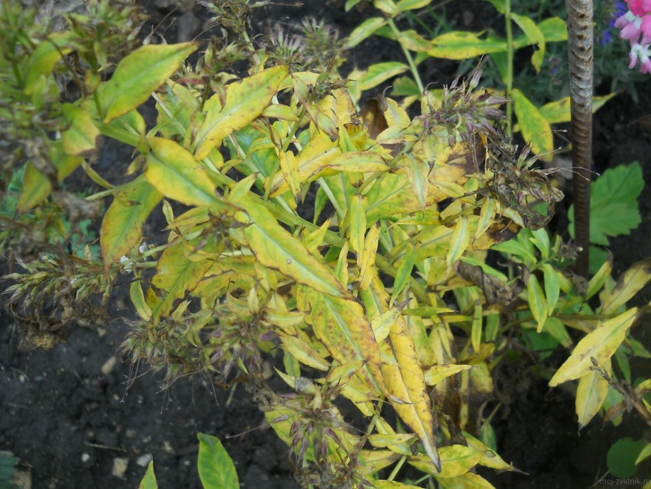 Почему желтеют, чернеют и закручиваются листья у флоксов?