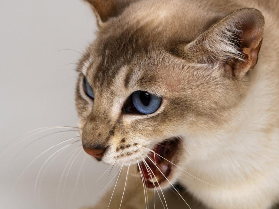 Сон, в котором нападает кошка