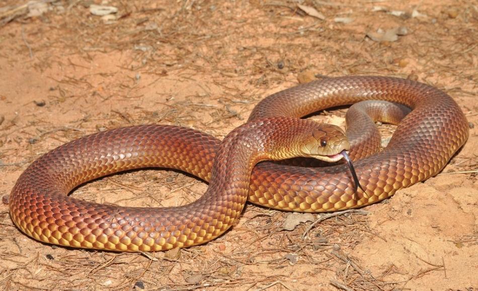 Мулга - ядовитая змея со своеобразным характером