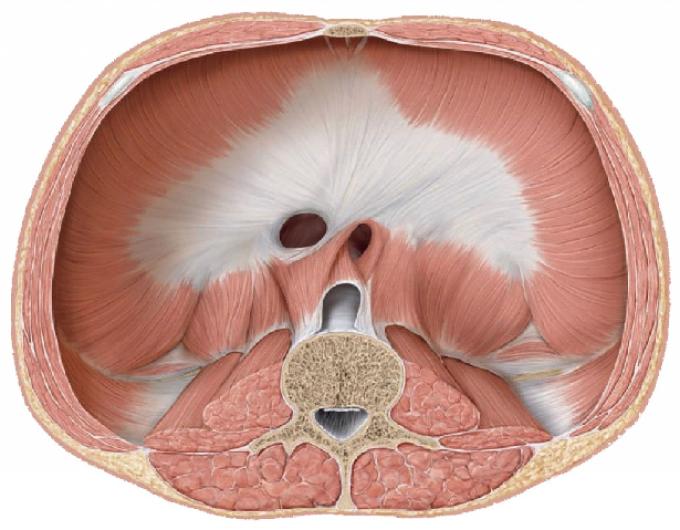 Изображение 4. мягкие ткани грудной клетки: диафрагма в разрезе.