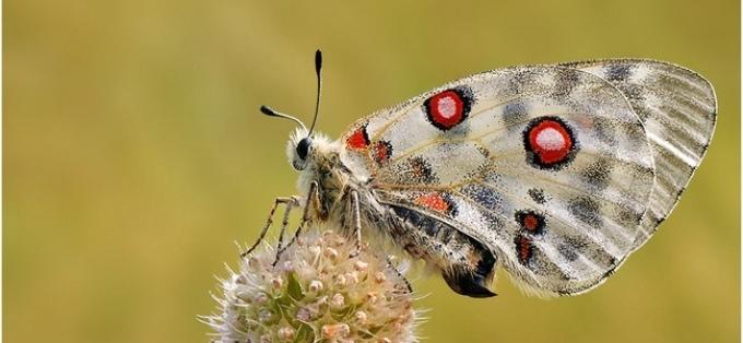 Бабочка аполлона