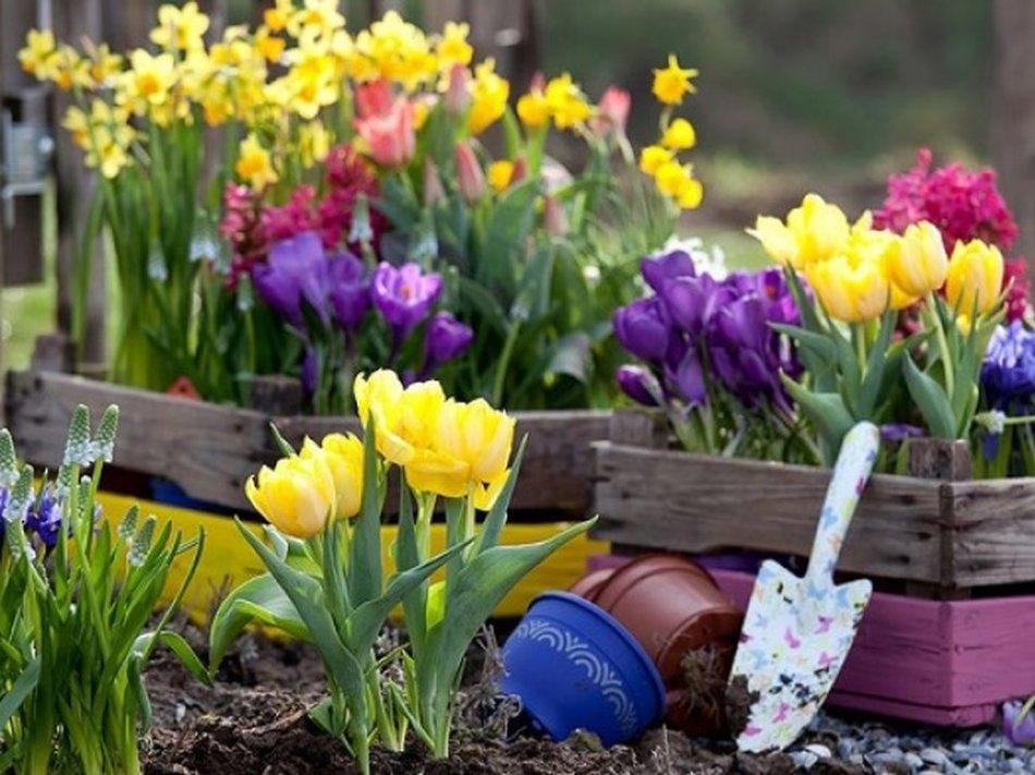 Лумба с тюльпанами, ведро и лопата для выкапывания их луковиц после цветения
