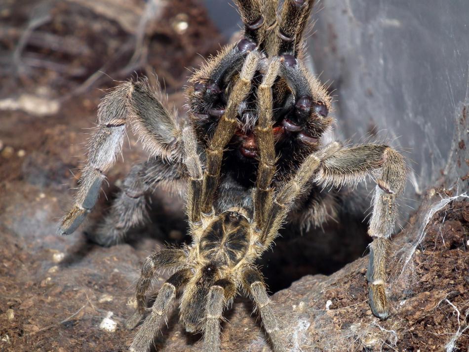 Спаривание пауков-птицеедов
