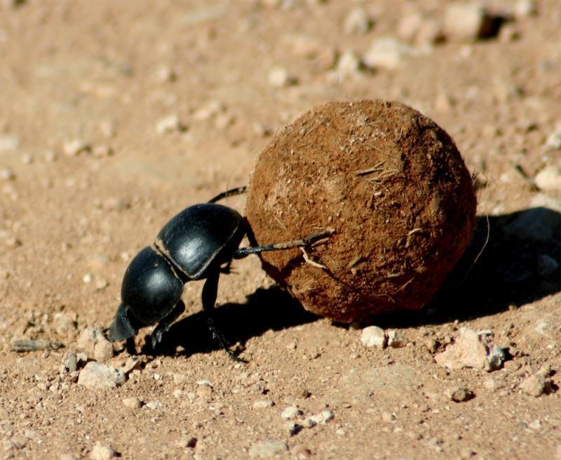 Навозный жук во сне - символ отношений между членами семьи.