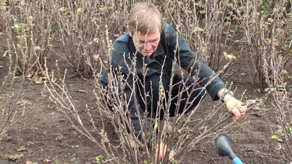 Мужчина опрыскивает кусты черной смородины ранней весной