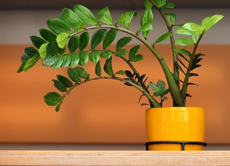Замиокулькас станет частью вашей квартиры или дома