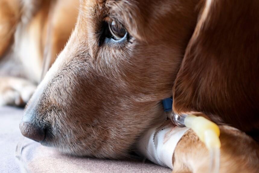 Лечение пироплазмоза токсичными препаратами негативно сказывается на здоровье собаки