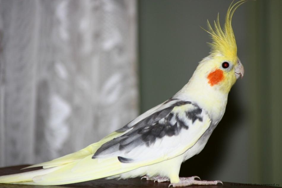 Корелла - этот попугай не столь легко поддаётся обучению