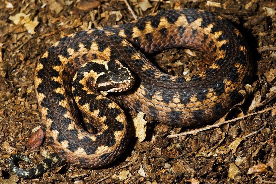 Гадюка рассела - змея, которая убивает мучительно долго