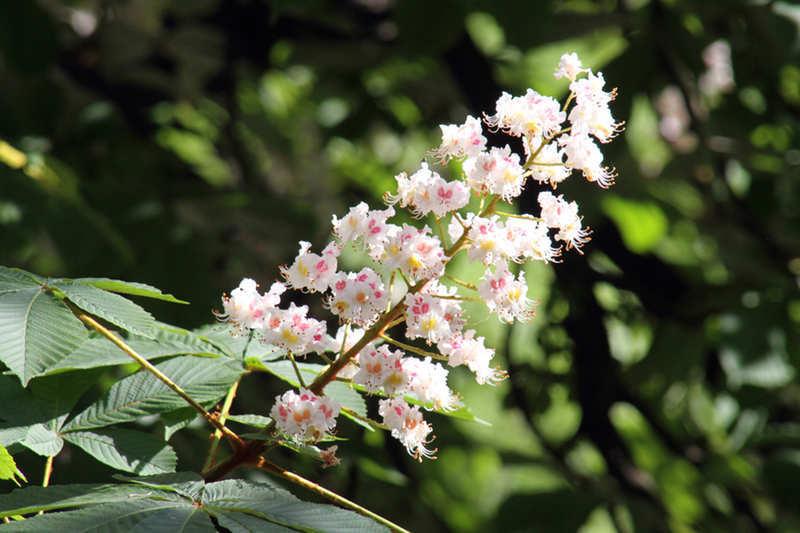 Цветы каштана используются для приготовления настоек