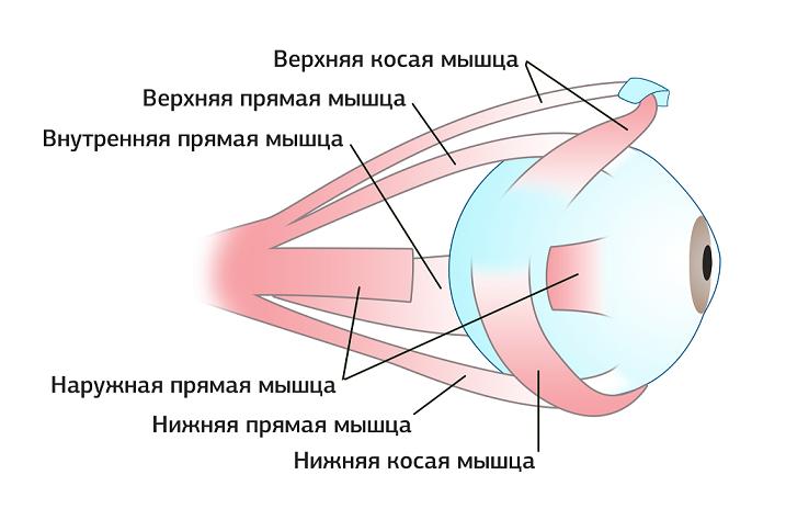 Мышечная система человеческого глаза