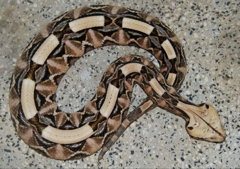 Кассава - ядовитая змея с самыми длинными зубами