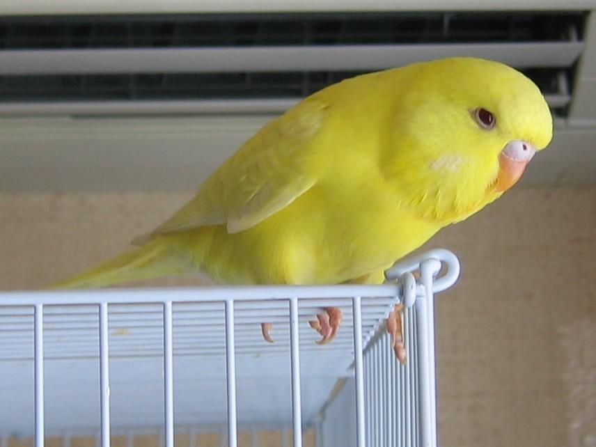 Волнистый попугай-девочка должна сама заинтересоваться в хозяине