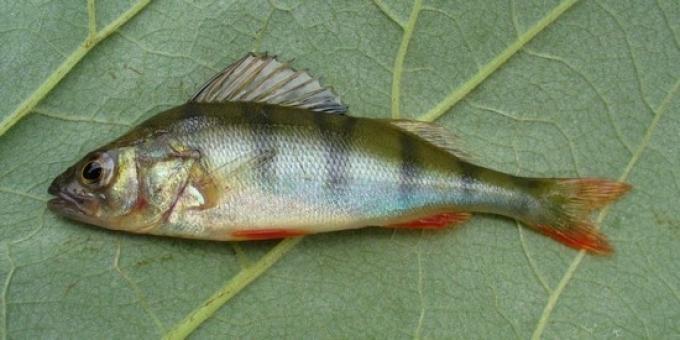 Окунь - очень полезная и вкусная рыбка.